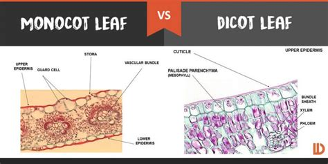 difference between monocot and dicot leaf cross section external structure of dicot and monocot leaf theleaf co