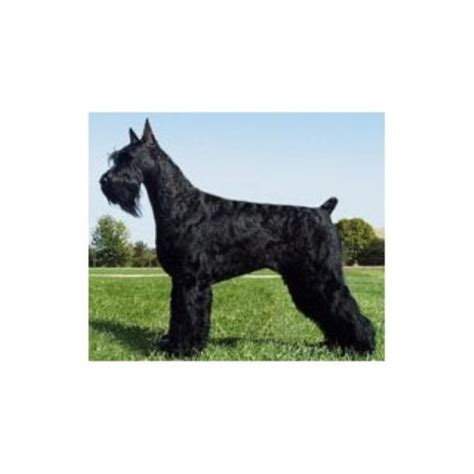 standard schnauzer puppies for sale in ga hillside kennel inc schnauzer breeder in mitchell indiana