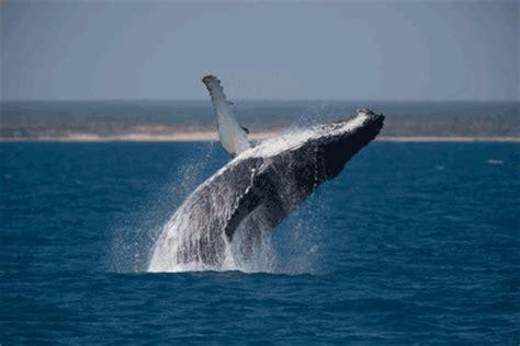ballenas animadas manuel pillado google