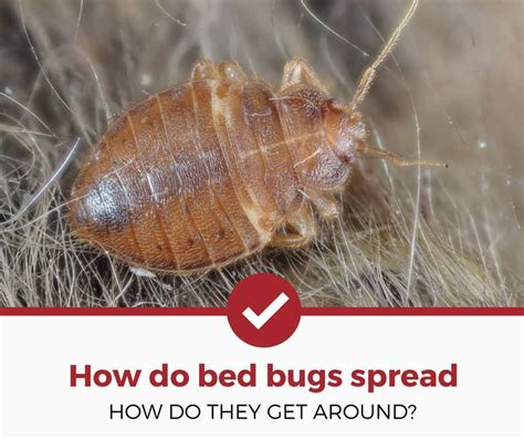 how do bed bugs spread your room home apartment etc