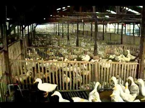Bibit Bebek Peking Di Jawa Timur peternak bebek peking jual bebek peking bebek peking