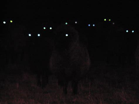 sheep  night  terrifying barnorama