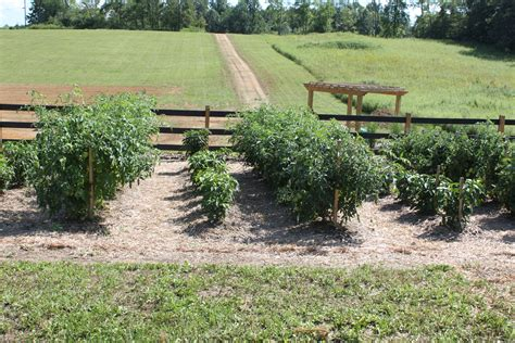 Blessed Community Garden Love This Idea For Staking How To Keep Grass Out Of Vegetable Garden