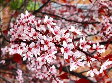 cistena plum flowering shrub 17 best images about sun worshippers on hedges