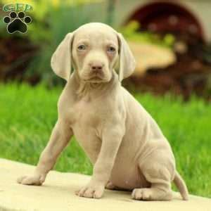 weimaraner puppies for sale ny weimaraner puppies for sale in de md ny nj philly dc and baltimore