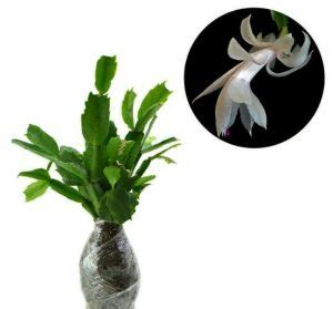 Bibit Wijaya Kusuma 18 cara menanam bunga wijaya kusuma teknik stek daun