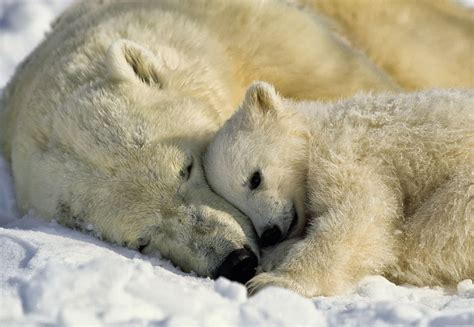 polar skin color save polar bears interesting cool facts about them a