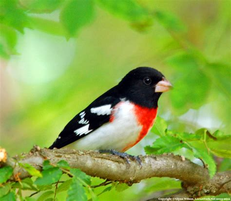 spring bird migration 2012 in full swing as grosbeaks pass