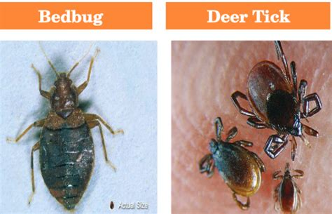 difference between ticks and bed bugs bed bug tick mcdonald pest control