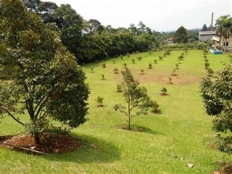 Bibit Durian Musang King 2017 kebun durian musang king indonesia bibit durian musang