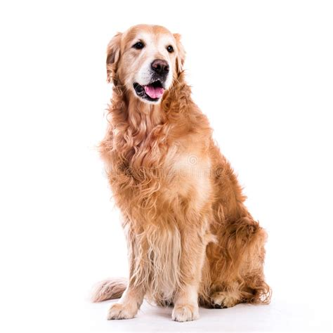 Golden Retriever Sitting Outline by Golden Retriever Sitting Isolated A White Background Stock Photo Image 41242032