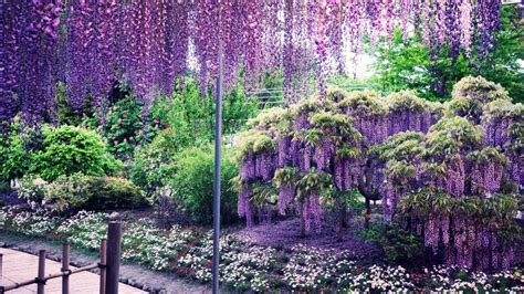Wisteria Flower Tunnel by