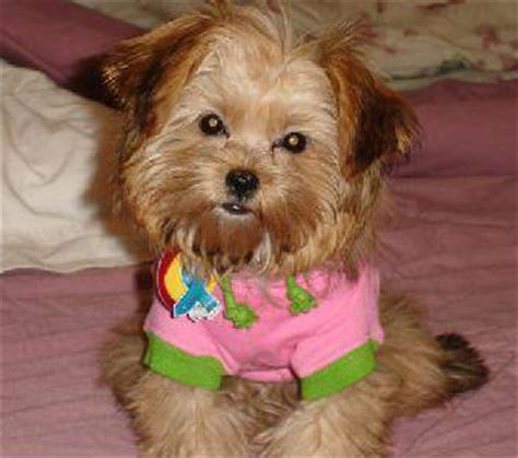 shih tzu and terrier mix shih tzu terrier mix temperament photo