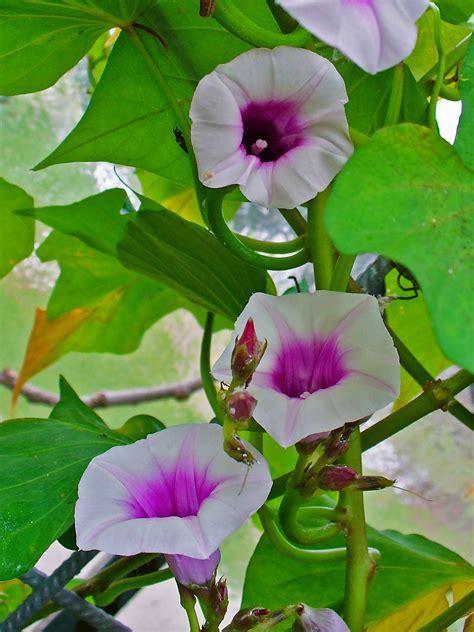 file batata doce ipomoea batatas jpg file ipomoea batatas 002 jpg wikimedia commons