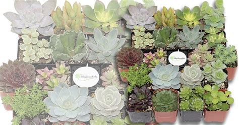 amazon succulents amazon shop succulents unique succulent collection of 20