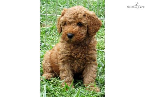 poodle puppies for sale in nc pics of poodles for sale in nc breeds picture