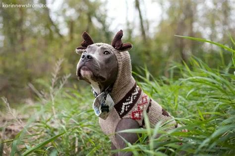 sweaters for pitbulls pit bull with sweater animal