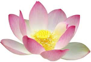 Uses Of Lotus Free To Use Domain Lotus Flower Clip