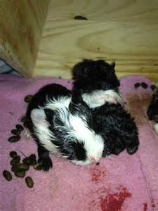 guinea pig bedding ideas pictures reference