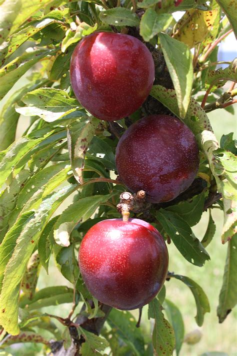 fruit tree supplies plum ruby