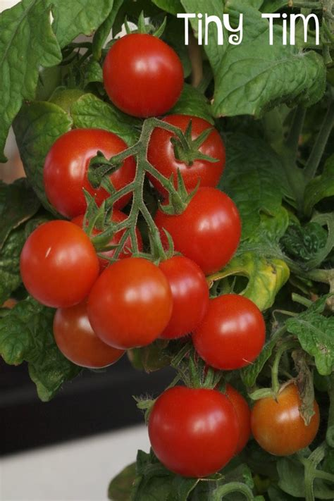 10 tomato varieties you should grow page 2 of 2