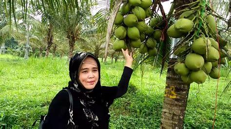 Bibit Kelapa Kopyor Kultur Jaringan jual bibit pohon kelapa kopyor hasil kultur jaringan wa