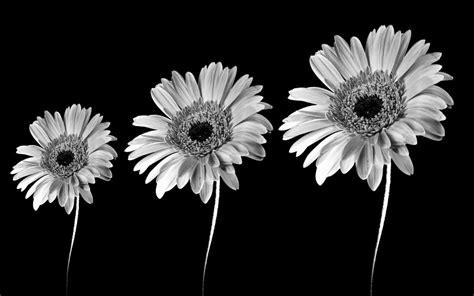 imagenes en blanco y negro flores flores en blanco y negro de fondo negro fondos de pantalla
