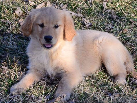 15 week golden retriever dfgoldens golden retriever puppies for sale