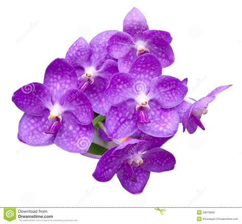 Violette Top Z By Lotuz l orchid 233 e fleurit le bouquet d isolement sur le blanc