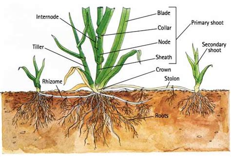 top 28 what are rhizomes some medicinal roots and rhizomes storing iris rhizomes how to