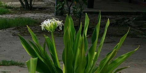 Jual Daun Beluntas Segar Kaskus postshare indo tanaman liar indonesia ini ternyata bisa