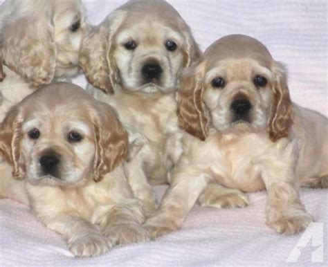 cocker spaniel puppies for sale in ga now ready akc cocker spaniel puppies for sale in alma classified