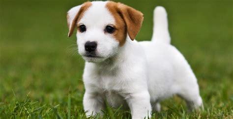 cagnolino da appartamento le 5 cose da sapere sui cani unadonna