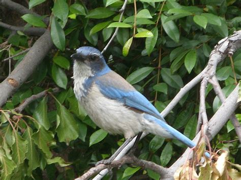 blue bird in northridge california flickr photo sharing