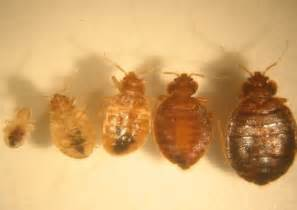 bed bugs middlesex health unit
