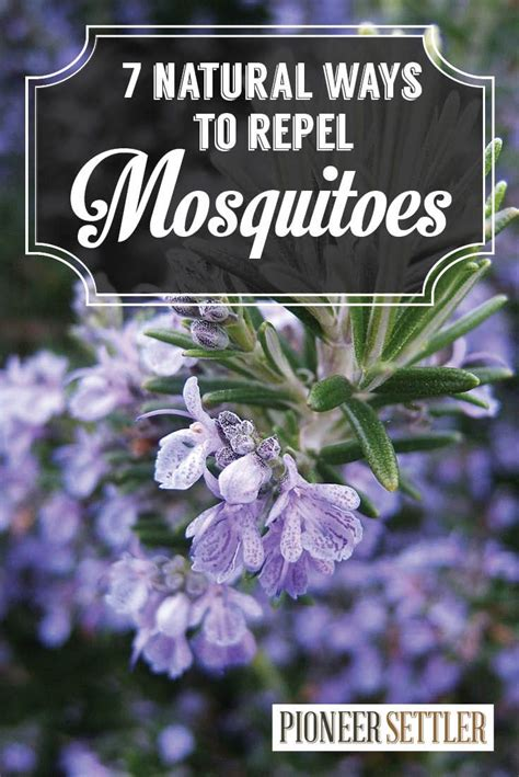 top mosquito repellent plants theindianspot 7 natural mosquito repellent plants homemade natural