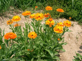 fiore di calendula calendula the herbal 171 bia