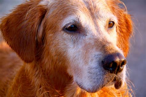 hypothyroidism golden retriever insights into veterinary endocrinology