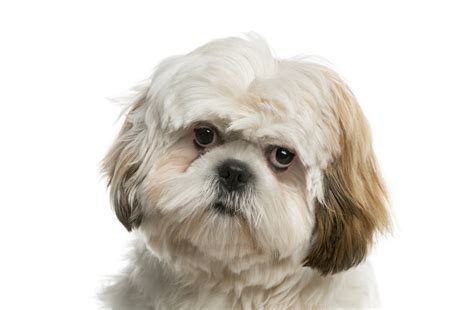 shih tzu puppies for sale glasgow shih tzu puppies for sale in scotland glasgow edinburgh petsyoulove