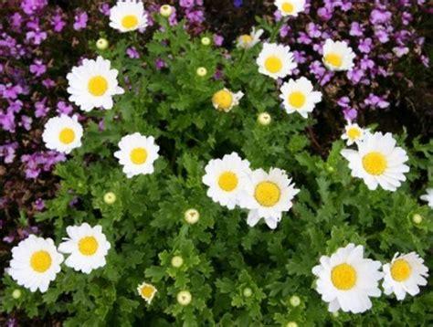 Bunga Hias Aster Mini jenis bunga taman dengan perawatan yang mudah bibitbunga