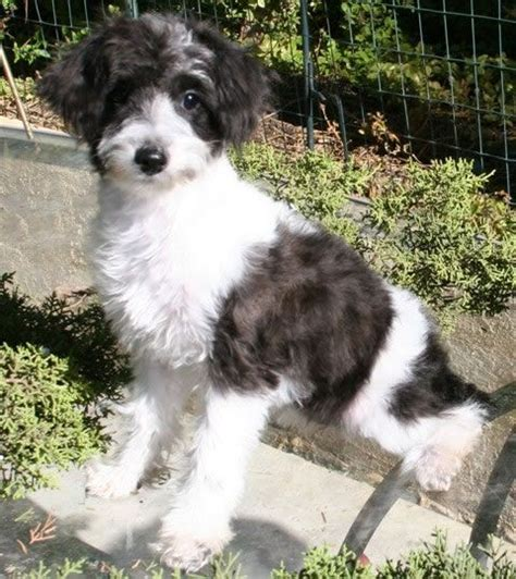 schnoodle puppies for sale in nc snoodle schnoodles schnoodles puppies for sale designer dogs poodle mixes
