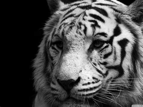 se filmer the lion in winter gratis tigre blanco fondo de escritorio pc fondos de pantalla gratis