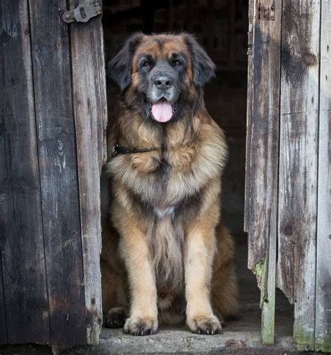 best big dogs 25 best ideas about breeds on dogs gentle and big dogs