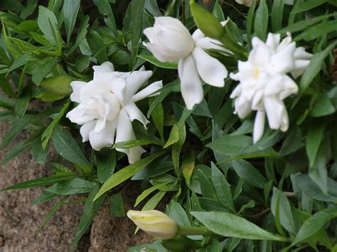 plants flowers cape jasmine