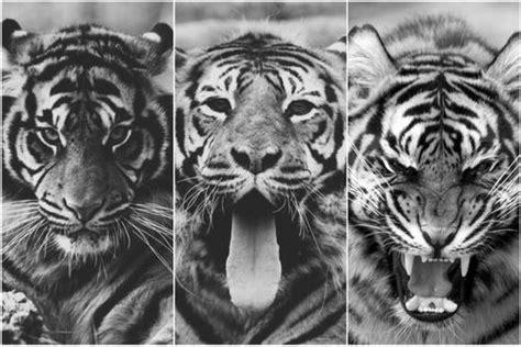 wallpaper tumblr tiger fuck yeah tigers
