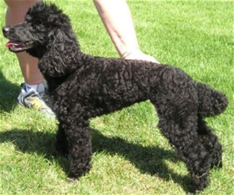 mini poodle weight miniature poodle