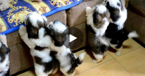 how to bathe a shih tzu puppy shih tzu puppies take their bath their look afterwards so adorable