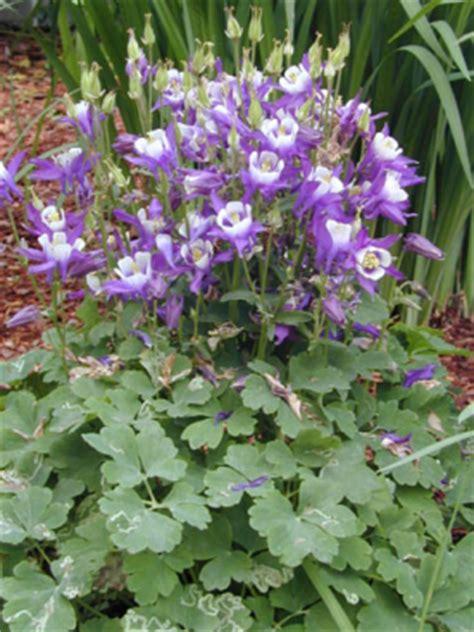 Hybrid Mba Program Site Umass Edu by Hybrid Columbine Umass Amherst Greenhouse Crops And
