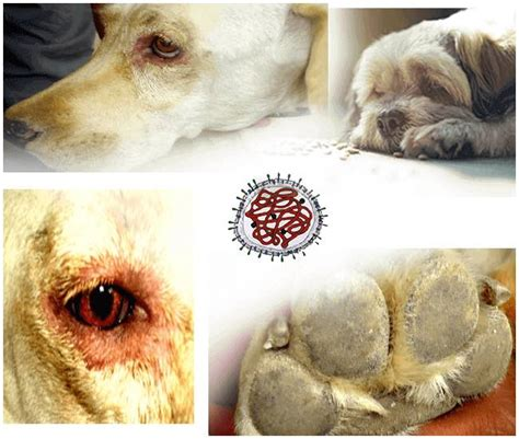 signs of distemper in dogs canine distemper read this before putting your to sleep