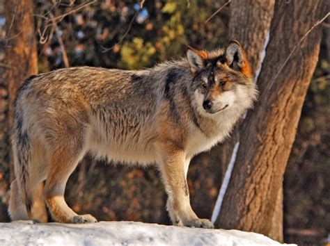 1406378178 white rabbit red wolf red wolf facts history useful information and amazing